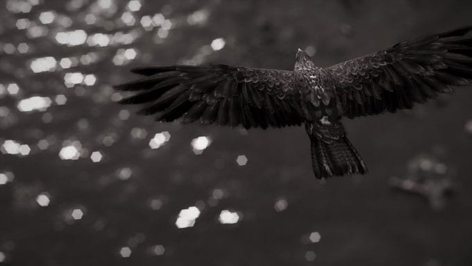 ACO Photomode - Flying Eagle Black and White